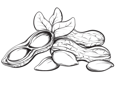 Cacahuètes. Hand drawn croquis illustration sur fond blanc dans un style vintage.