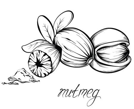 Küche Gewürze. Muskatnuss. Hand gezeichnet Vektor-Illustration.