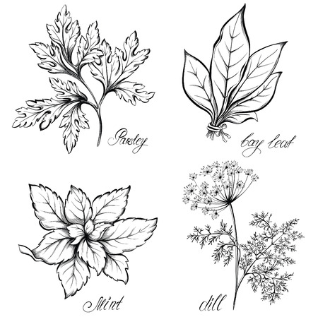 basil: Kitchen herbs and spices. Dill, parsley, mint and bay leaf. Hand drawn vector illustration