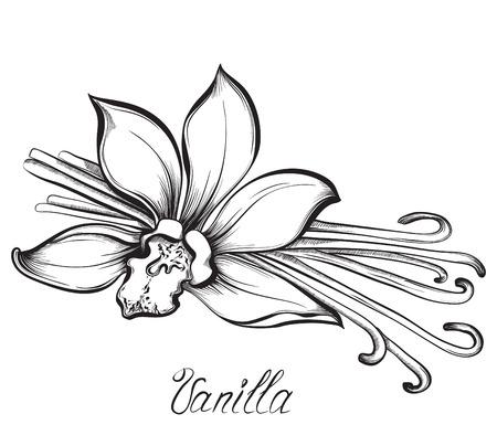 orchidee: baccelli di vaniglia e fiori. Mano illustrazione bozzetti disegnati vettoriale su sfondo bianco in stile vintage. Vettoriali