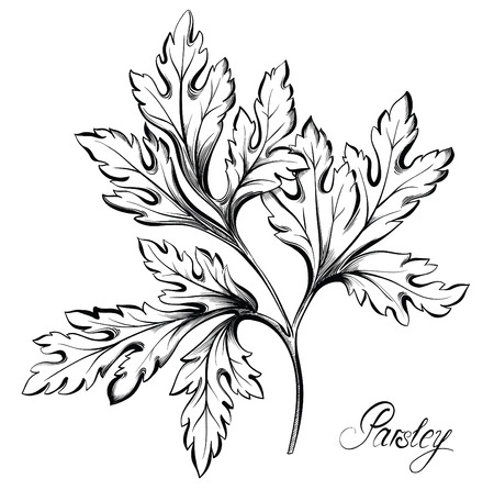 potherb: Parsley branch with leaves isolated on white background. Kitchen herbs and spices. Hand drawn vector illustration