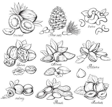 avellanas: Conjunto de frutos secos: nueces, almendras, avellanas, cacahuetes, coco, nuez moscada, piñones, anacardos y pistachos. Dé la ilustración vectorial croquis dibujado sobre fondo blanco en estilo de época.