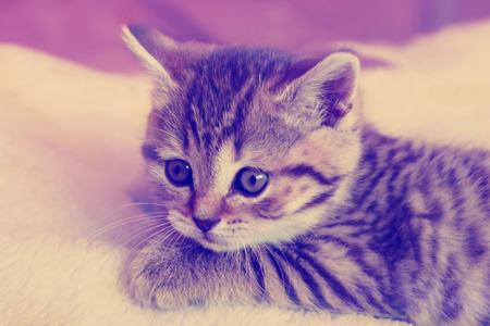 cute kittens: Cute striped scottish kitten on  background with retro vintage  filter
