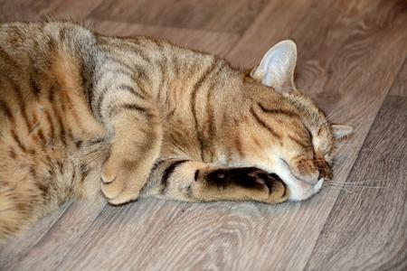 sweetly: Tabby cat sleeping sweetly Stock Photo