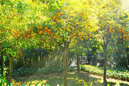 naranjo arbol: Árbol anaranjado con las frutas maduras en la luz del sol