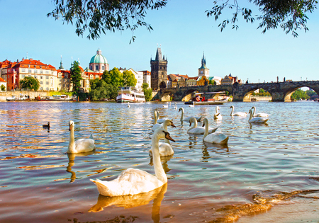 View on Charles bridge and Swans on Vltava river in Prague, Czech Republic