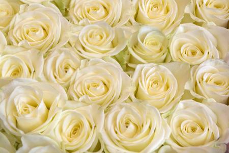 Bella priorità bassa di rosa bianca