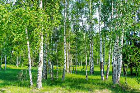 black forest: Beautiful landscape. Birch forest. White birch trunks. Stock Photo
