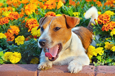 dog park: Funny jack russell terrier. Dog in a flowerbed with bright yellow marigolds flowers sunny summer day