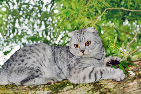 hunter playful: Silver tabby Breed Scottish Fold Cat sitting in a tree