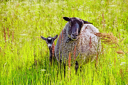 lamb: Sheep and baby goat grazing on grass in a meadow