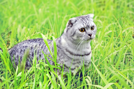 grey tabby: Silver tabby Breed Scottish Fold Cat on green grass in summer Stock Photo