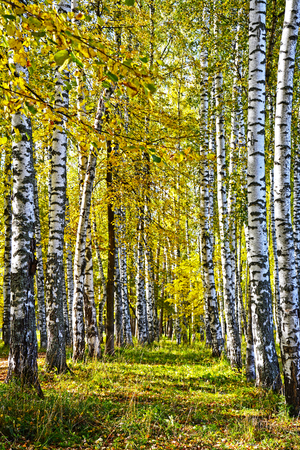 autumn landscape: Autumn birch forest. View of a beautiful landscape in Russia autumn day