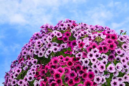 petunia: Colorful petunia flowers against the blue sky Stock Photo
