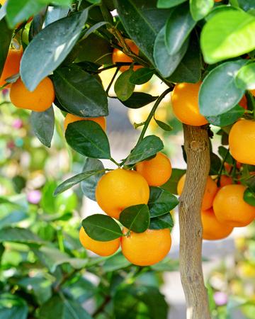 tangerine tree: Ripe mandarins on a tree branch. Stock Photo