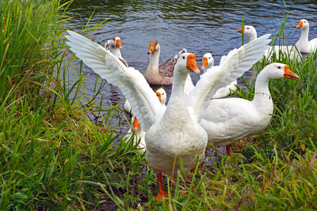 domestic scene: Domestic white geese swimming in the river Stock Photo