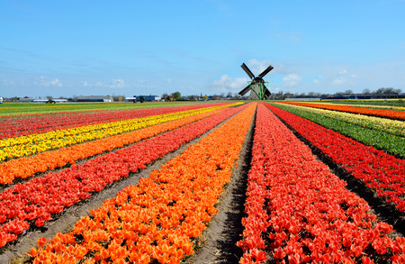 dutch: Dutch windmill and colorful tulips flowers in Holland, Netherlands