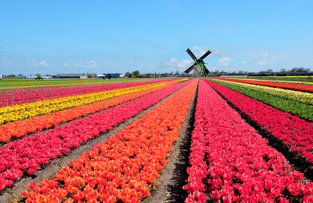 Dutch windmill and colorful tulips flowers in Holland, Netherlands