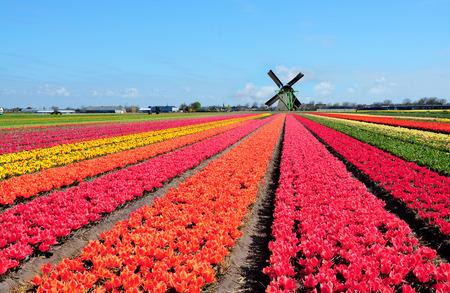 Holenderski wiatrak i kolorowe kwiaty tulipanów w Holandii, Holandia
