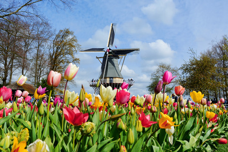 dutch landmark: Dutch windmill and colorful tulips in spring garden of flowers Keukenhof, Holland, Netherlands Stock Photo