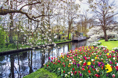APPLE trees: ?olored tulips and blooming cherry and apple trees in spring garden of flowers Keukenhof, Holland, Netherlands