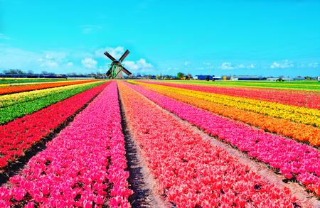 オランダの風車とオランダ、オランダで色とりどりのチューリップの花 写真素材