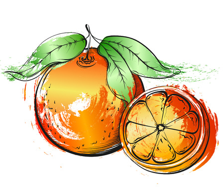fruit orange: dibujado a mano la pintura de acuarela naranja o pomelo. Ilustración del vector del grunge de la fruta en el fondo blanco