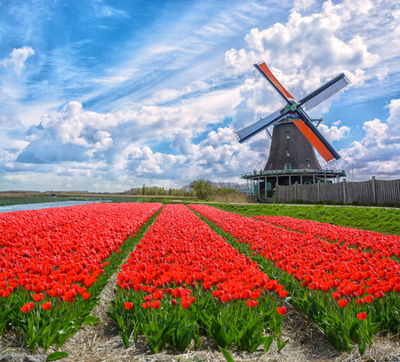 Dutch windmills and fields of red tulip flowers against the blue cloudy sky in Holland, Netherlands