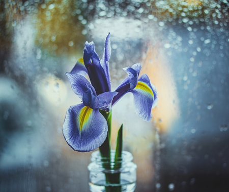 Dutch purple iris in a vase by the window. Bright iris on a blue blurred background with water drops. Bokeh macro, close-up. Flower head Фото со стока