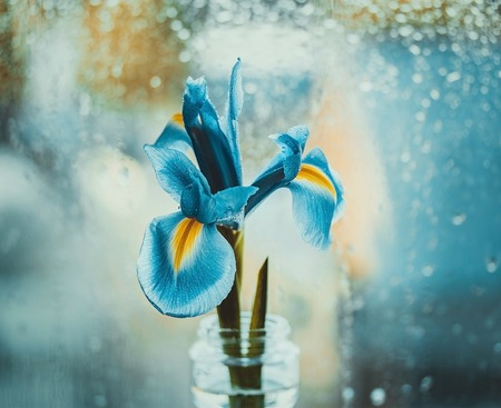 Dutch blue iris in a vase by the window. Bright iris on a blue blurred background with water drops. Bokeh macro, close-up. Flower head