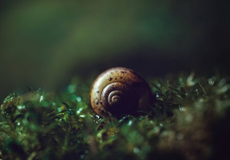 Beautiful snail shell on dark green background close - up. Shell spiral in wet moss, macro. Dark mysterious picture. Yellow green moss at sunset.