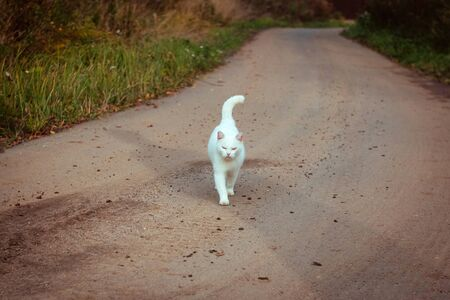 White homeless beautiful cat walking on the road, staring and squinting. A lonely stray cat is looking for a house and a master. Front view. Summer evening. Standard-Bild
