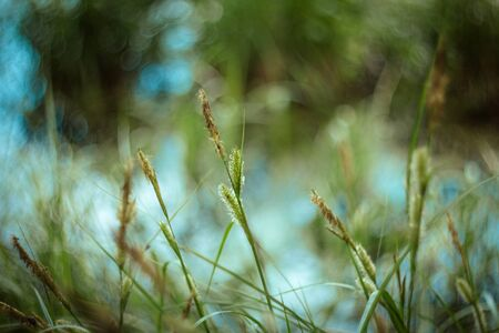 Green grass texture and background with bokeh on Sunny day. Bright juicy sedge grass on green blue yellow blurred background closeup. Plants by the pond, macro. Beautiful summer landscape.
