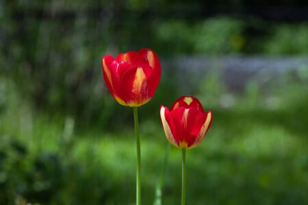 Red Tulip on green blurred background. Two tulips in the garden close-up. Beautiful flower with red and yellow petals on summer day.