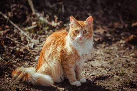 Red striped fluffy cat sitting on the ground. A stray young cat with ginger and white fur. A lonely cat sitting and looking at you, front view. Early spring.
