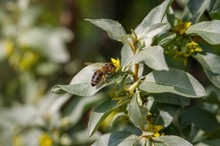 Silverberry, rabbitberry, elaeagnus commutata background. Bee on a yellow flower Silverberry. Silver leaves Silverberry close up. Garden ornamental shrub. Tree with edible fruits. Reklamní fotografie