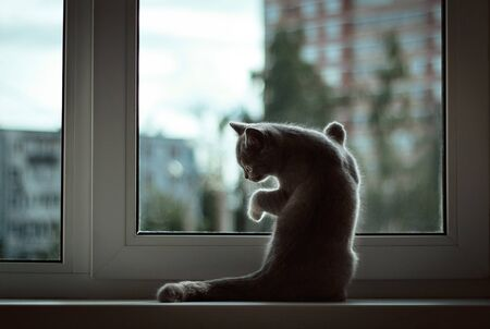 A small British kitten sitting at the window on the background of the evening city. Front legs rests against the glass, looks out the window.Sad cat waiting for the owner, standing on his hind legs.