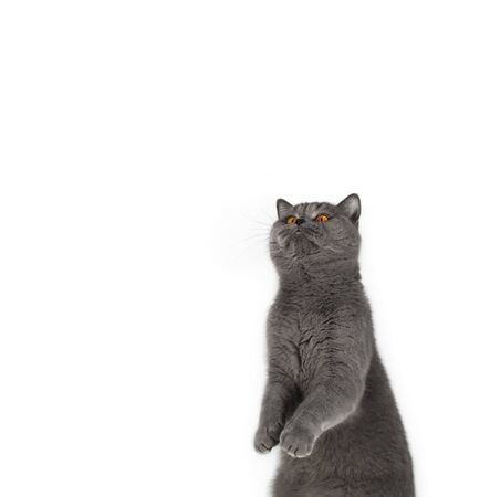 Funny gray cat stands on its hind legs and looks up. Cute British cat isolated on white background. Copy space. Surprised cat with bright yellow eyes.