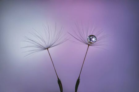 Dandelion seeds on pastel pink lilac background with water drop close up. Fluffy seeds on a blurred purple background. Macro. A glistening drop of water.