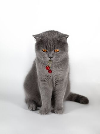 The cat eats the berry cherry. A cute fat British cat stole a berry. British grey cat with red cherry berry on white background. Gray cat close up.