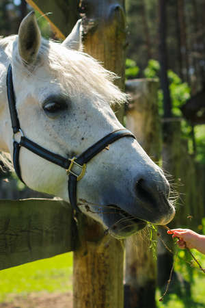 A horse eats from the hands of a man, a man feeds horses on a farm on a summer day. A farmer feeds his horse from his hands with grass. 版權商用圖片
