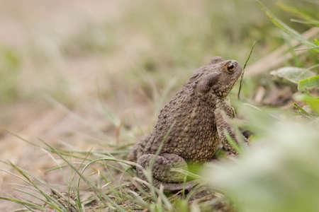 European brown toad on green summer grass in wild nature