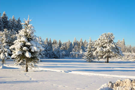 Pine trees covered with snow on a Sunny day. Stock fotó