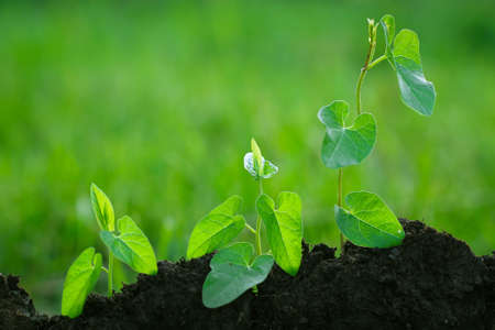 Step of growing sprout. New life start concept. Growing trees. Conservation of cultural breeds of agriculture.