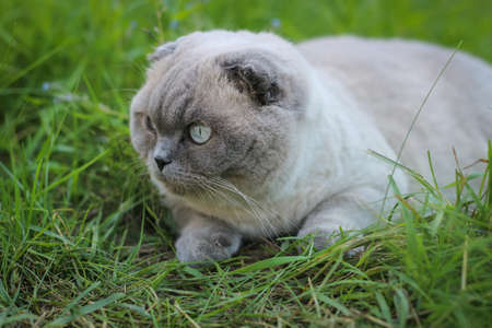 Funny gray Scottish fold cat eating grass. Portrait of a funny cat.