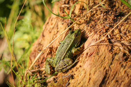 Green Frog is sunning itself on a stump. Lithobates clamitans. Archivio Fotografico