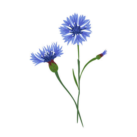Cornflower, bouquet, blossoming buds, top and side view. Thin green stem. Medicinal herbs. Hand-drawn vector illustration, flat style. Design element for greeting cards, social networks, banners.