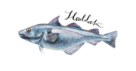 meat food: Haddock fish whole isolated on a white background