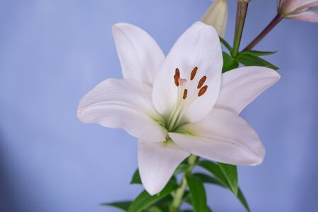 Large white lily on a wall background.