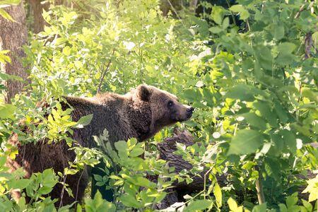 Brown bear sneaks through the thickets of the forest and looks out carefully from the green foliage. Banque d'images